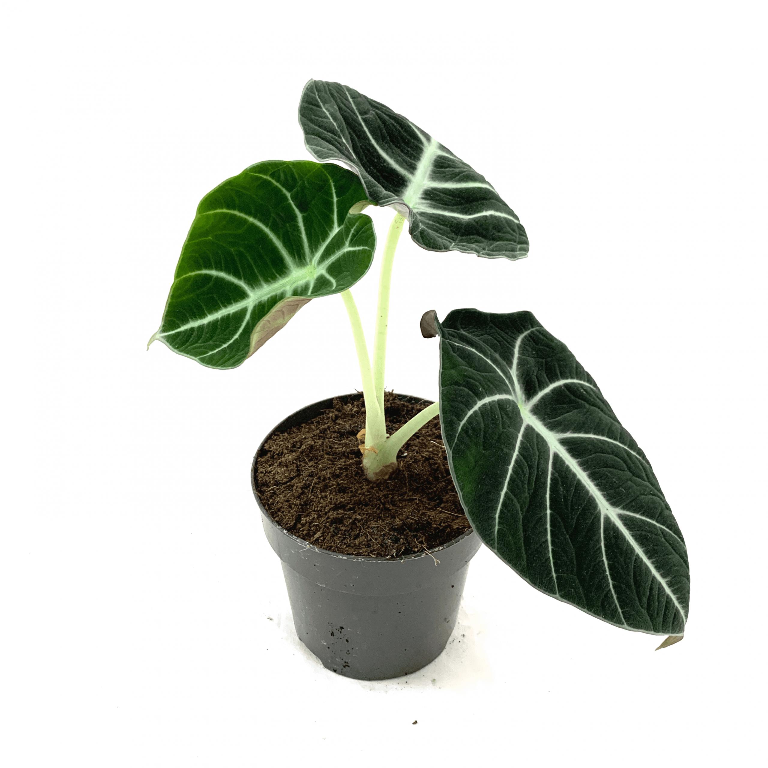 Alocasia Black Velvet Only For 12 95 The Plant Dynasty